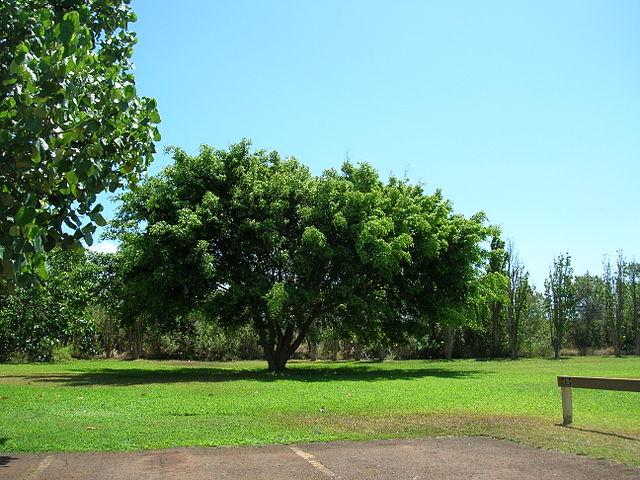 Ficus benjamina: características, reprodução, cuidados 2