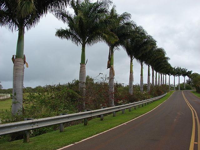 Palma real: características, habitat, usos, cuidados 4