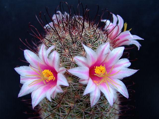 Mammillaria: características, habitat, cultivo, usos e espécies 10