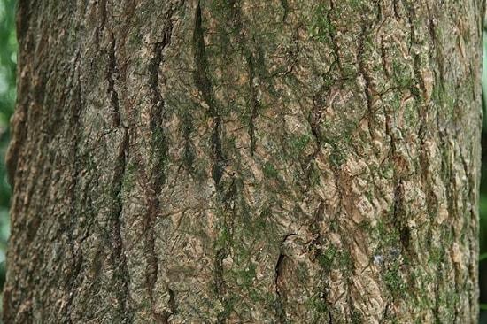 Tabebuia rosea: características, habitat, pragas e usos 10