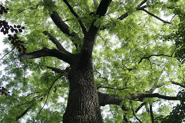 nogueira preta: características, habitat, distribuição, propriedades 1