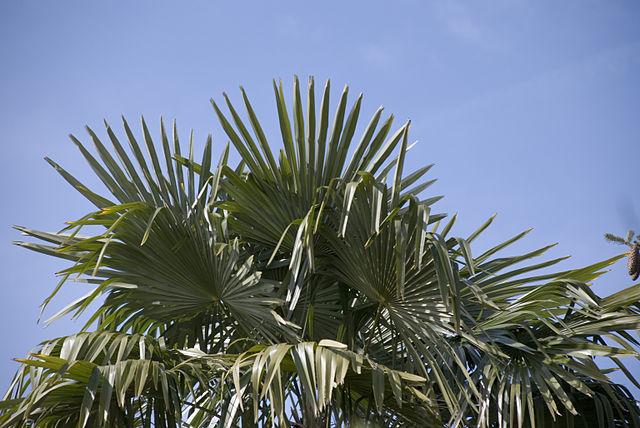 Trachycarpus fortunei: características, habitat, cultivo 2