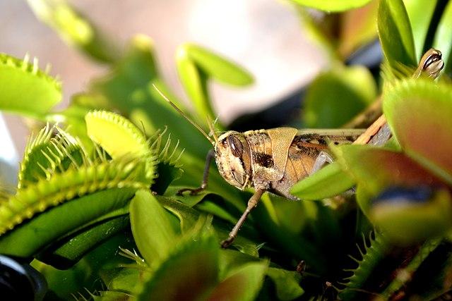 Dionaea muscipula: características, habitat, distribuição, cultivo 7