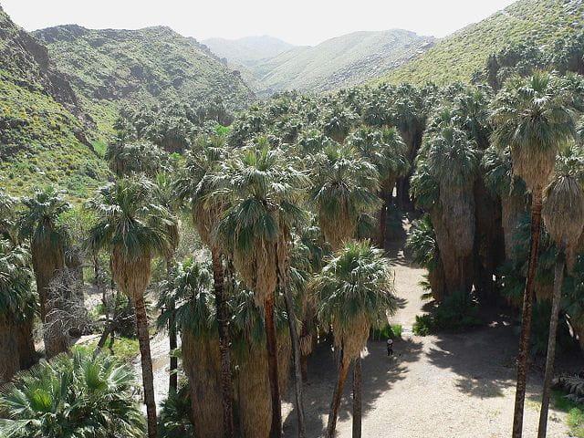 Washingtonia filifera: características, habitat, cuidados, doenças 4