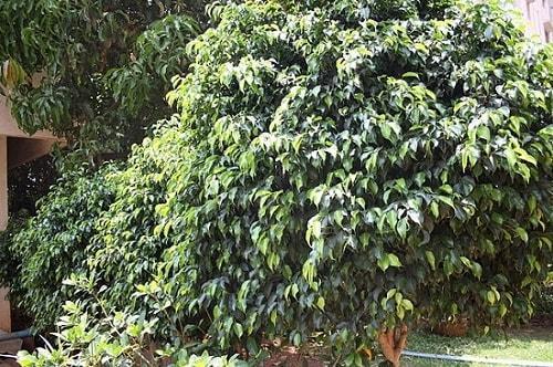 Ficus benjamina: características, reprodução, cuidados 12