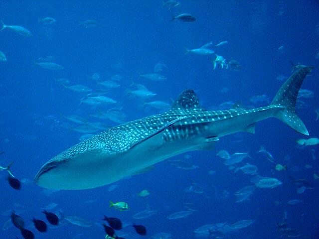Tubarão-baleia: características, habitat, comida, comportamento 4