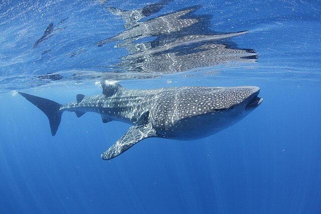 Tubarão-baleia: características, habitat, comida, comportamento 5