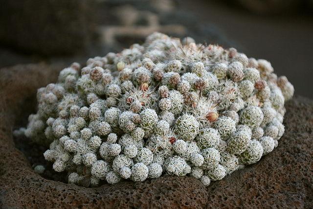 Mammillaria: características, habitat, cultivo, usos e espécies 11