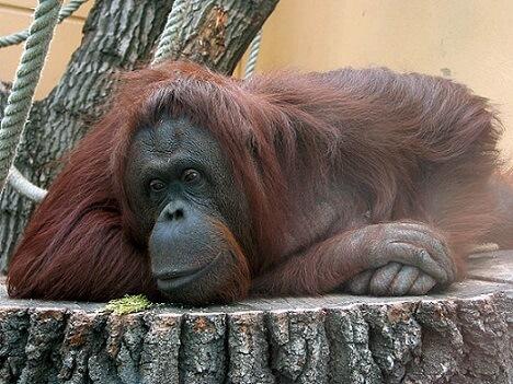 Orangotango: características, habitat, comida e comportamento 3