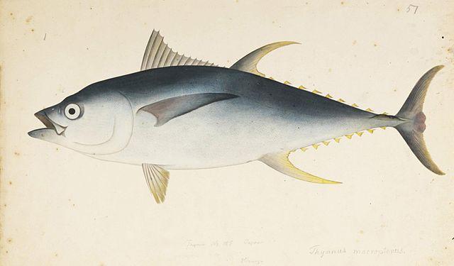 Atum albacora: características, habitat, alimentação 2