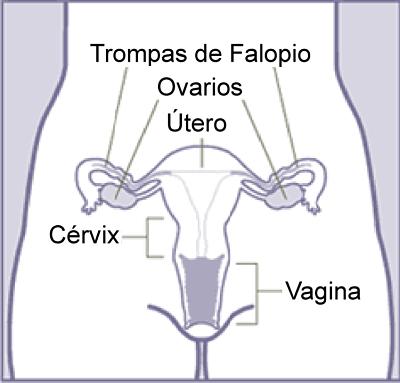 Sinal de Chadwick: o que é, anatomia, gravidez, diagnóstico 2