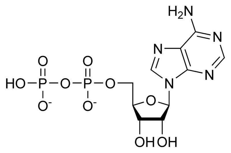 ADP (adenosina difosfato): características, estrutura e funções 1