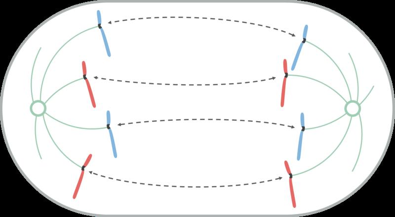 Divisão celular: tipos, processos e importância 6