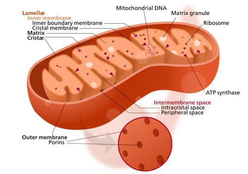 O que é herança citoplasmática? 2