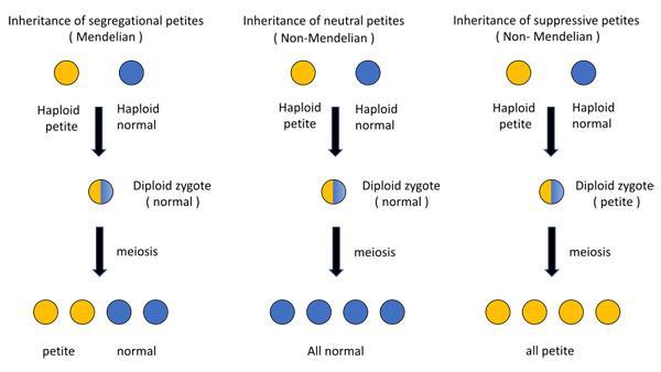 O que é herança citoplasmática? 1