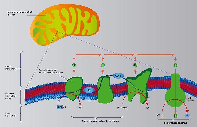 ATP (trifosfato de adenosina): estrutura, funções, hidrólise 2