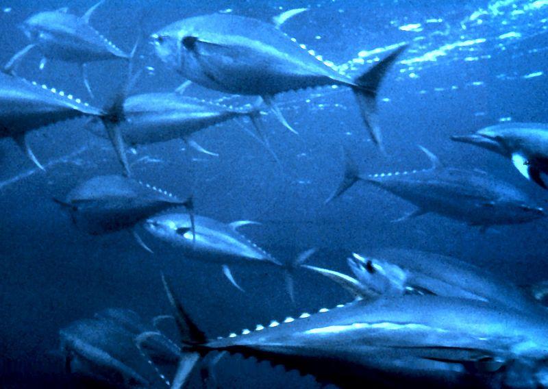 Atum albacora: características, habitat, alimentação 4