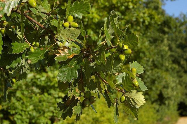 Quercus petraea: características, distribuição, reprodução 2