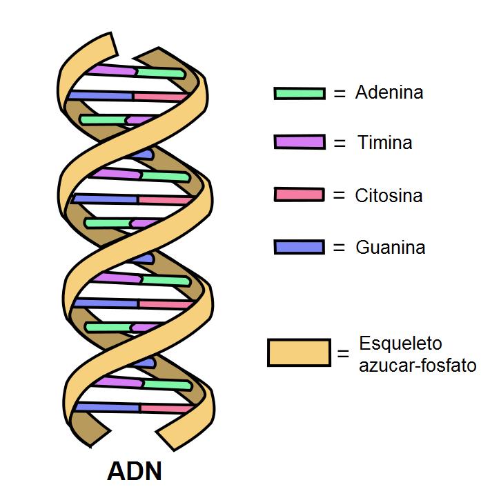 Síntese proteica: estágios e suas características 2