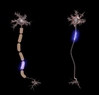 Mielina: funções, treinamento, estrutura 2