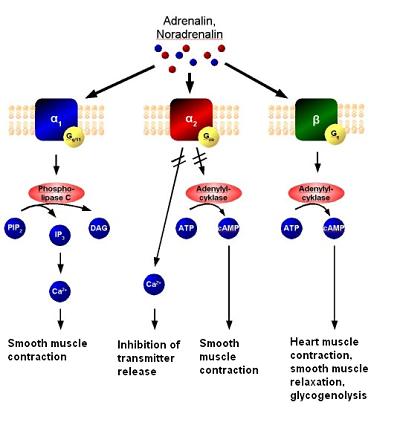 Células cromafinas: características, histologia, funções 4