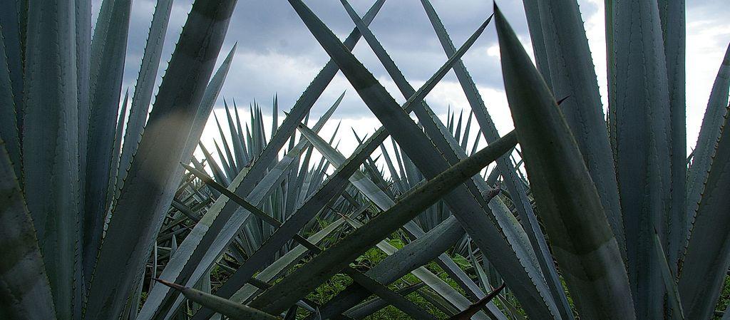 Tequilana de agave: características, habitat, usos, cultivo 3