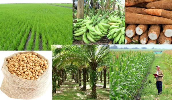 Agricultura da Região Orinoquía: 8 produtos principais 1