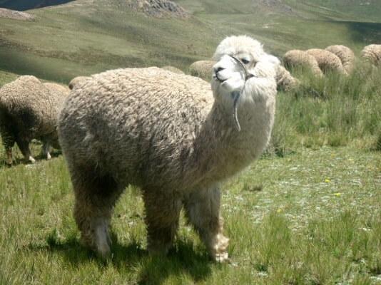 Alpaca: características, habitat, reprodução, comportamento 1