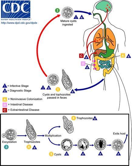 Entamoeba histolytica: morfologia, ciclo de vida, sintomas 2