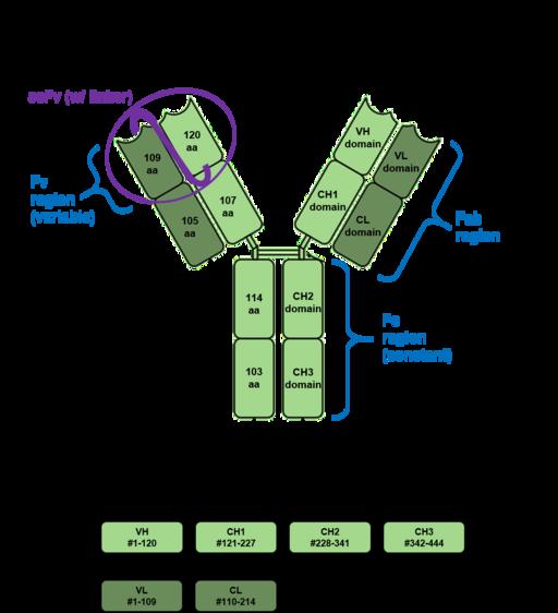 Imunidade humoral: teoria, mecanismos efetores, exemplos 3