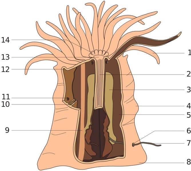 Anêmonas marinhas: características, morfologia, habitat, comida 3