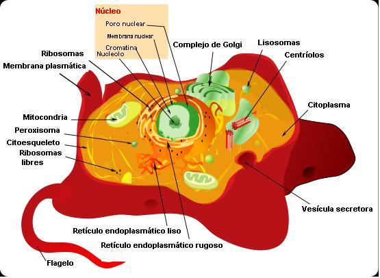 Organelas celulares em células animais e vegetais: características, funções 2