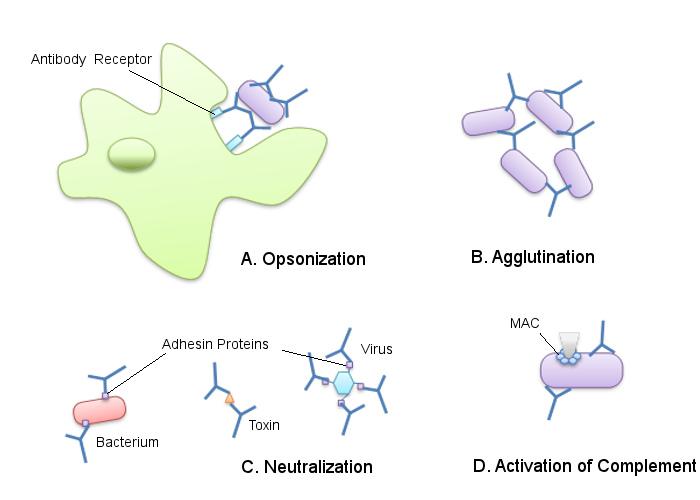 Imunidade humoral: teoria, mecanismos efetores, exemplos 1