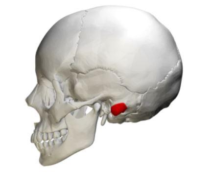 Apófise da mastóide: músculos, funções e doenças 1
