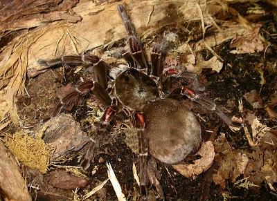 Aranhas: características, habitat, reprodução e alimentação 5
