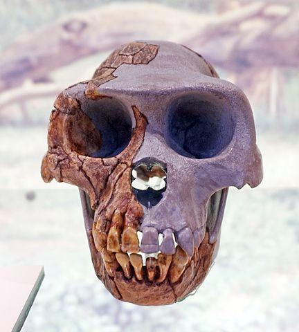 Ardipithecus ramidus: características, crânio, alimentação 1