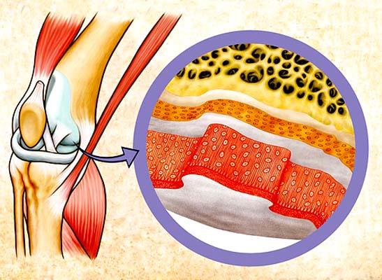 Cartilagem hialina: características, histologia, tipos e funções 2