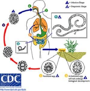 Ascaris suum: características, morfologia, ciclo biológico 3