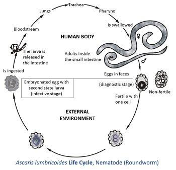 Ascaris lumbricoides: características, morfologia, ciclo de vida 3