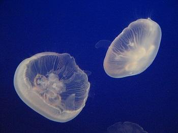 Aurelia aurita: características, habitat, ciclo de vida 1