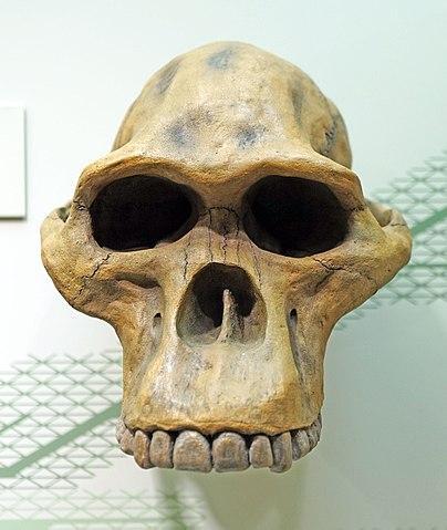 Australopithecus africanus: características, evolução 1