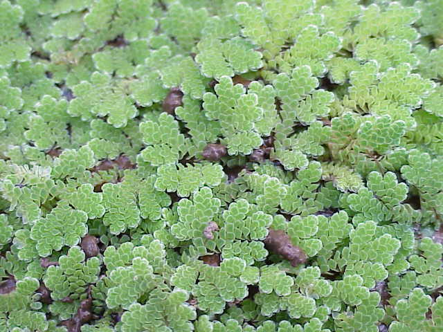 Macrófitas: características, habitat, classificação e importância 6