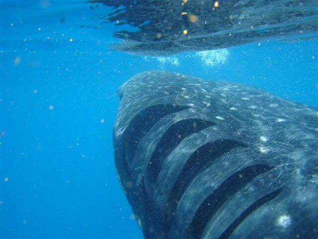 Tubarão-baleia: características, habitat, comida, comportamento 6