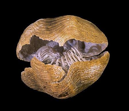 Braquiópodes: características, morfologia, classificação 1