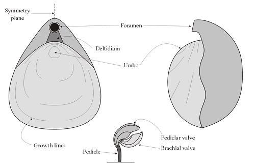 Braquiópodes: características, morfologia, classificação 2