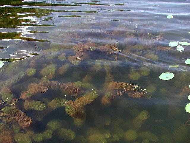 Macrófitas: características, habitat, classificação e importância 4