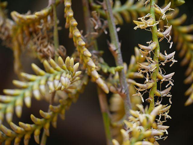 Palmeiras: características, habitat, propriedades, cultivo, espécies 3