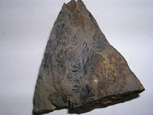 Carbonífero: características, subdivisões, flora e fauna 1