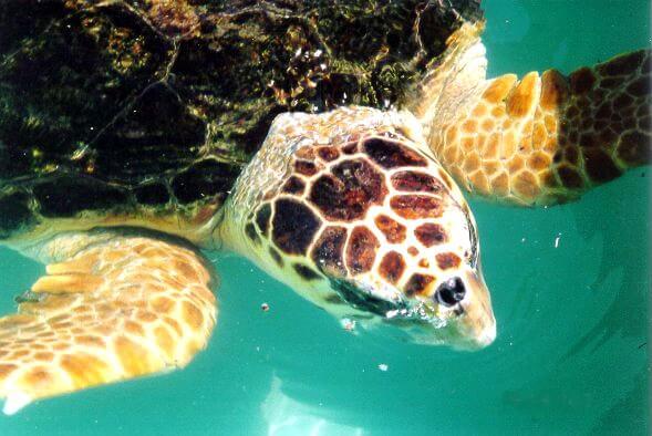 Tartaruga cabeçuda: características, habitat e comportamento 3