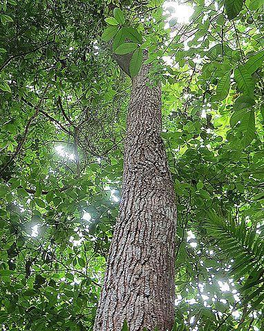 Cedro americano: características, habitat, usos e propriedades 6